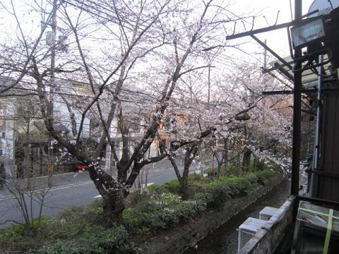 まだ3分咲きの桜