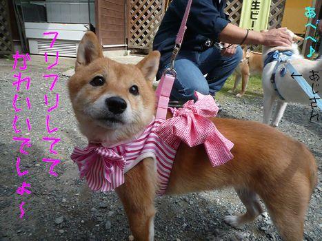 ピクニカ柴和国 かわいいと言わざるを得ない!恋梅ちゃん