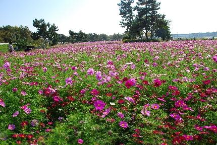 2009・10・31コスモス畑