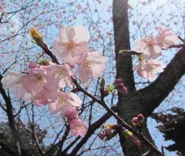 満開 桜3