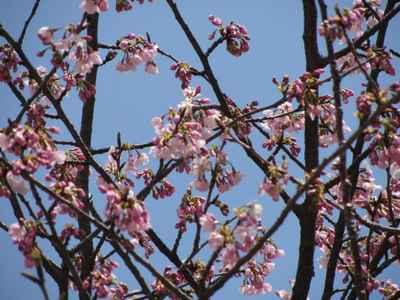 満開 桜2