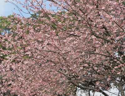 満開 桜1