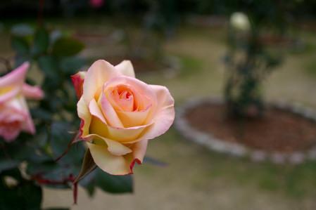 グラバー園のバラ