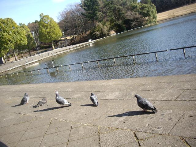 横に並んでいる鳩さん