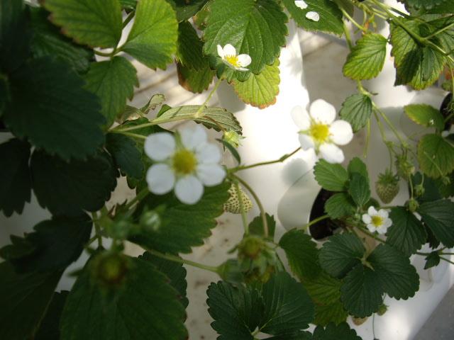 イチゴのお花