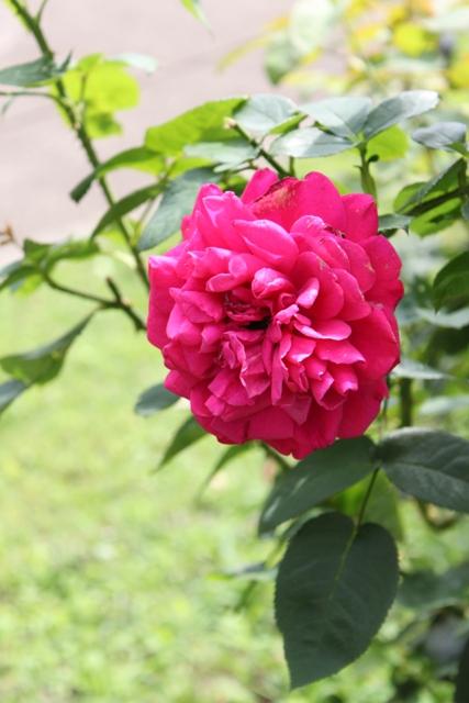 ローズガーデンのバラ1