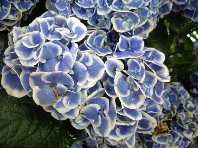 ふちのある紫陽花