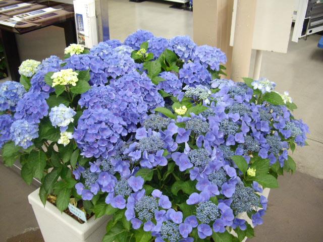 ブルー系紫陽花