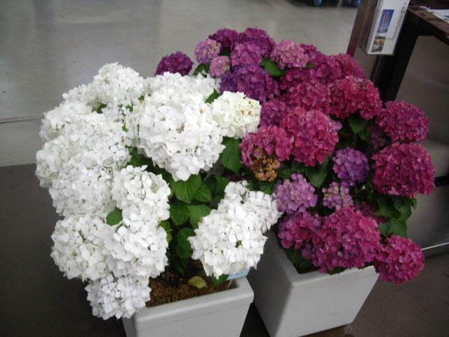 白、紫の紫陽花
