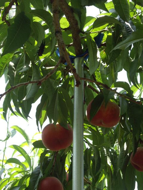 クワガタも桃狩りに来ていましたよ