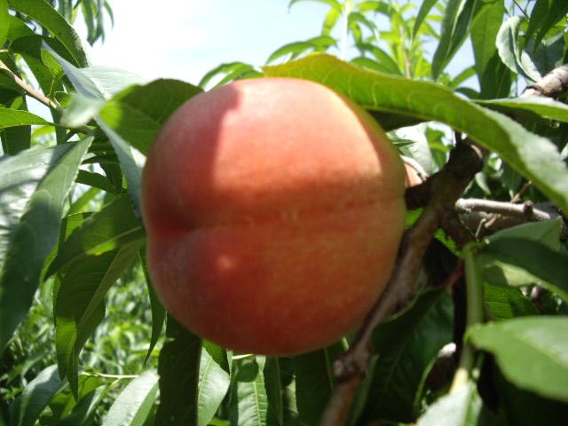 大きな桃見つけました^^