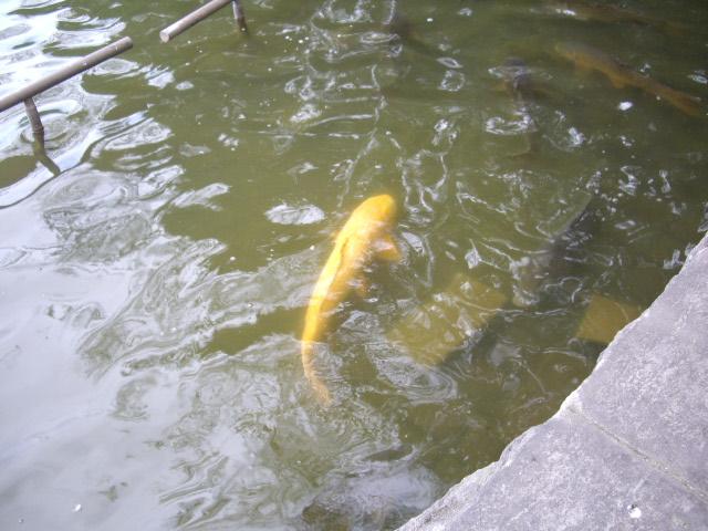 大きな鯉もいましたよ