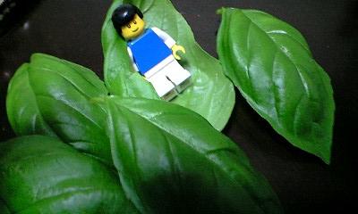 家庭菜園バジル