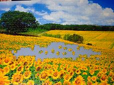 jigsaw_SunflowerFieldUmbria_2016_017