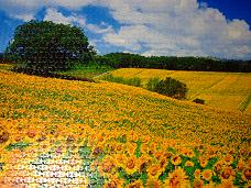 jigsaw_SunflowerFieldUmbria_2016_018