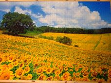 jigsaw_SunflowerFieldUmbria_2016_019