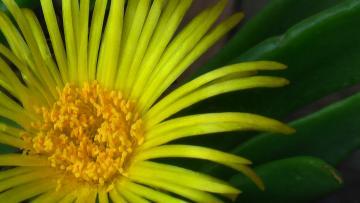 黄サボテン