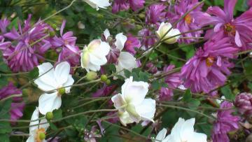 秋明菊ラスト