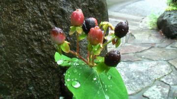 ヒペリカム雨
