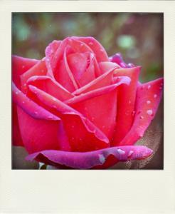 rose-pola.jpg