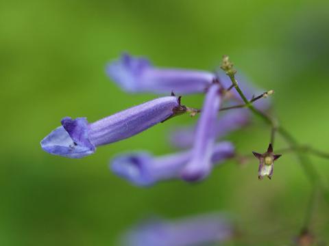 セキヤノアキチョウジ花