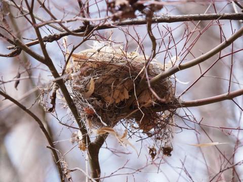 ヒヨドリ?巣2