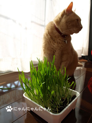 猫草育ったね1