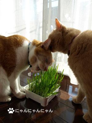 猫草育ったね2