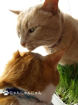 猫草育ったね4