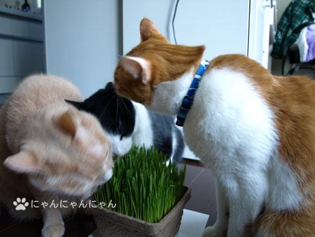 猫草の争奪戦2