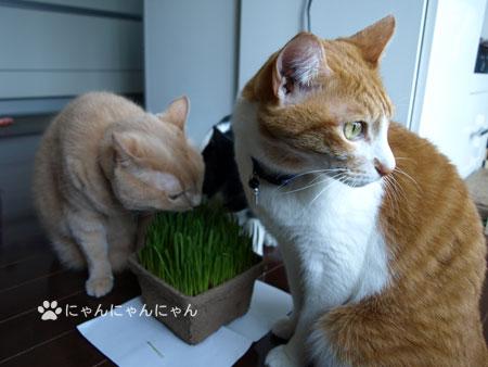 猫草の争奪戦4