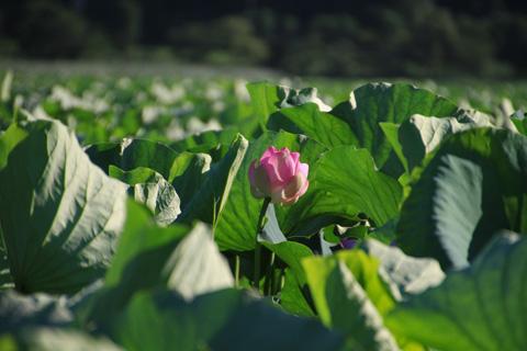 lotus110717_1.jpg