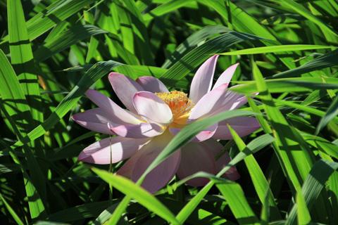 lotus110717_2.jpg