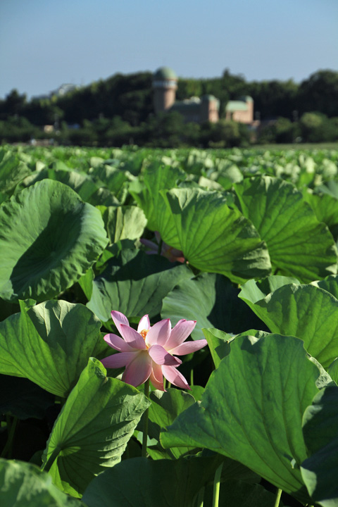 lotus110717_3.jpg