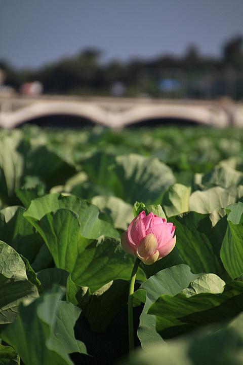 lotus110717_4.jpg
