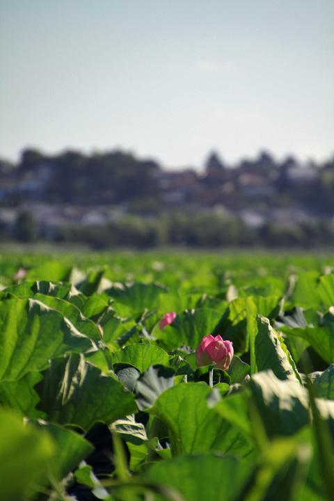 lotus110717_6.jpg
