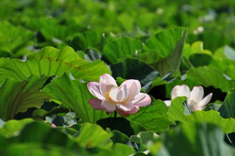 lotus110724.jpg