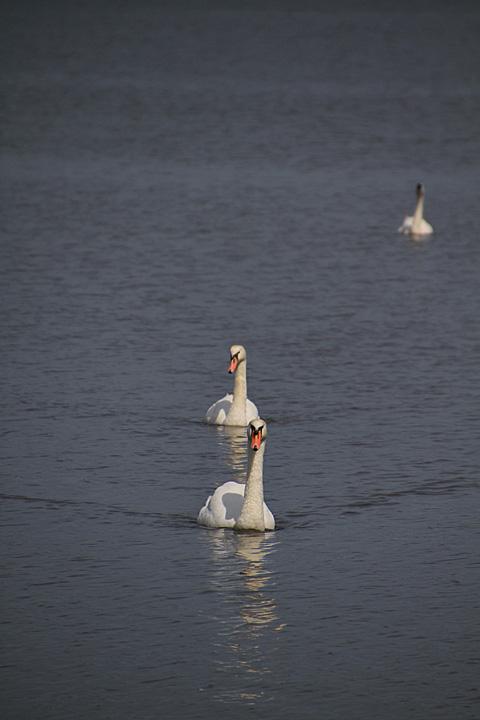 swan110724_1.jpg