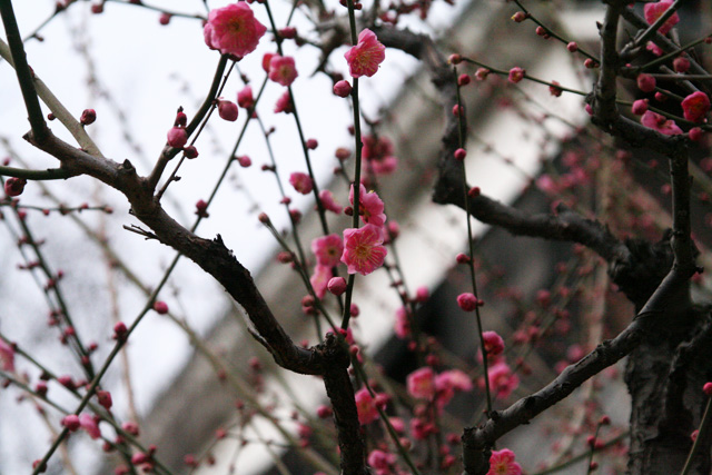 熊本城梅園 031