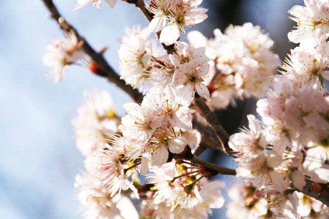 桜 057