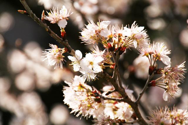 桜 075
