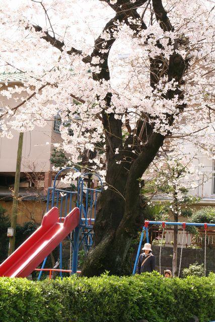 桜 005