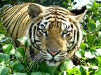 ネットで見つけた虎2