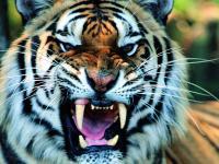 ネットから見つけた虎イメージ