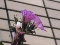 花の大きさは小さい。寒々とした感じに見える。