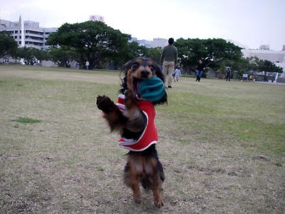 沖縄ダックスフンド ココ