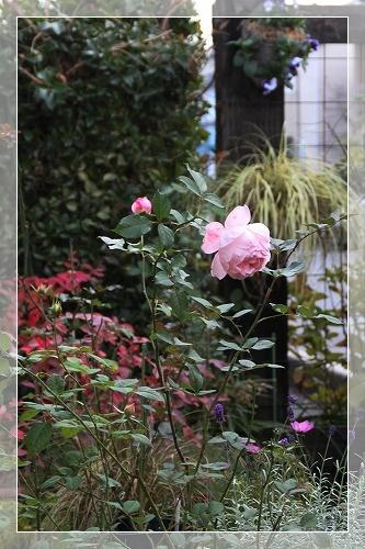 バラと庭 1