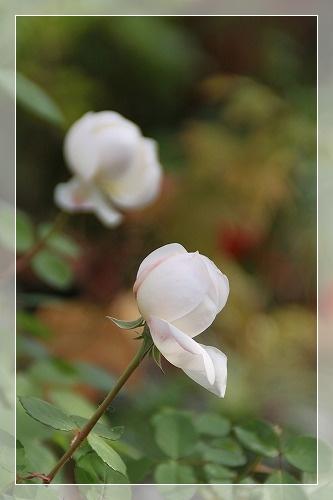 バラと庭 2
