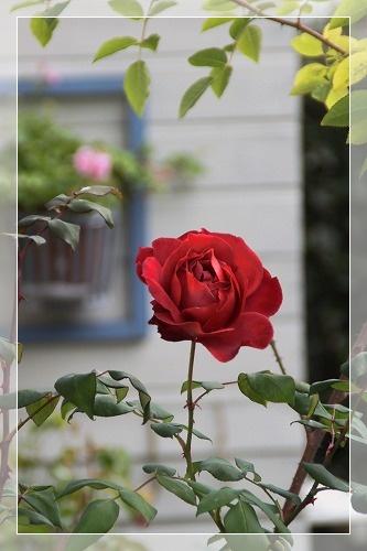 バラと庭 3