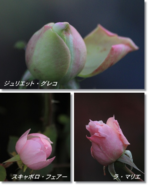 1月のバラ